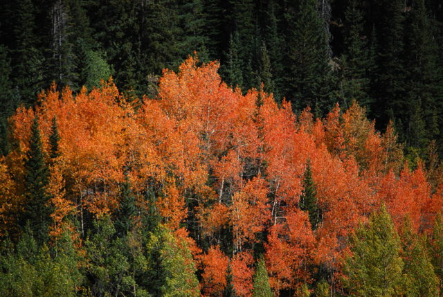 Picture of fall trees with orange leaves